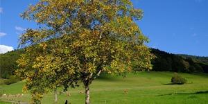 arbre-fruitier-noyer