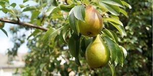 arbre-fruitier-poirier