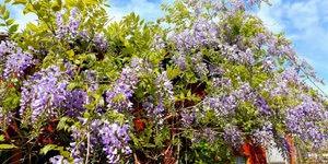 arbuste-glycine