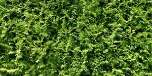 que-planter-en-septembre-thuya