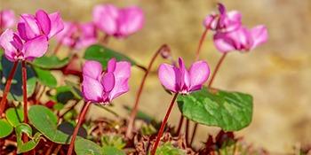 fleur cyclamen