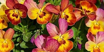 fleur de juillet