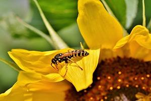 Guêpe insecte auxiliaire