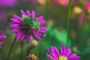 Punaise insecte auxiliaire