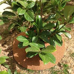 Disques de paillage naturels pour limiter l'arrosage et favoriser l'activité biologique du sol. Les disquesde paillage coco sont pré-découpés pour les glisser plus facilement au pied des plantes. La collerette de paillage enrichie le sol et dure très longtemps.