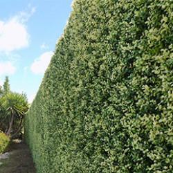 Fidèle imitation d'un mur végétalisé naturel, nos murs végétaux artificiels embelliront vos espaces extérieurs comme intérieurs. Ils se présentent sous forme de plaques végétales artificielles, facilement clipsables sur tout support grillagé, et possèdent divers aspects. Vous retrouverez ainsi des feuillages artificiels et murs végétaux imitation buis, sapin, laurier cerise, fougère ou liseron. Alliance entre esthétisme et occultation, nos murs végétaux artificiels vous protégeront également du vis-à-vis. Vous pourrez donc rapidement créer un véritable espace de détente à l'abri des regards indiscrets. De plus, ils possèdent de nombreux traitements, dont l'anti-feu et l'anti-UV, afin de résister dans le temps.
